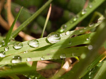 Weelderig nat gras met grote vlekken van waterdruppeltjes en mooie sprin Stock Foto