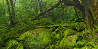 Weelderig regenwoud langs de sleep van Shiratani Unsuikyo op Yakushima royalty-vrije stock fotografie