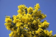 Weelderige bloeiende Mimosaboom Stock Afbeeldingen