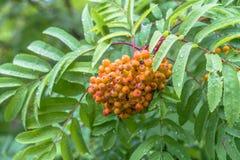 Weelderige bossen van rijpe rode ashberry tijdens de gouden herfst stock fotografie