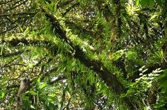 Weelderige epiphytes benadrukken de bomen in Monteverde-Wolk Forest Reserve stock foto