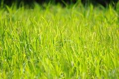 Weelderige grasachtergrond Stock Afbeeldingen
