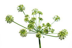Weelderige groene Conium-maculatumbloem Royalty-vrije Stock Fotografie