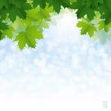 Weelderige groene esdoornbladeren tegen de blauwe hemel Royalty-vrije Stock Foto