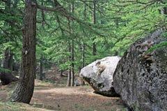 Weelderige groene himalayan pijnboombos en wildernis Stock Afbeeldingen