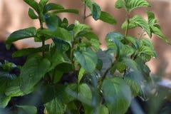 Weelderige groene muntbladeren stock fotografie