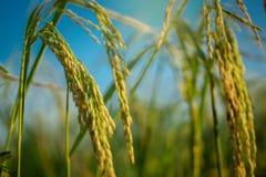 Weelderige groene padie in padieveld De lente Stock Fotografie