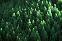 Weelderige Groene Pijnboombomen Forest Growth met Zonlicht royalty-vrije stock fotografie