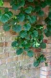 Weelderige groene wijnbouw op een bakstenen muur royalty-vrije stock foto