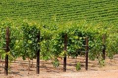 Weelderige groene wijngaard Royalty-vrije Stock Afbeelding