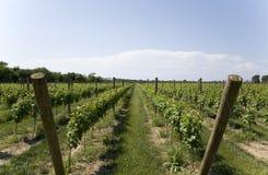 Weelderige Groene Wijnmakerij Royalty-vrije Stock Foto's