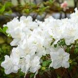 Weelderige het uitspreiden zich takken van rododendron met witte bloemen Royalty-vrije Stock Foto