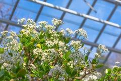 Weelderige kroon Crassula van een boom met bloeiende spruiten, witte bloemen royalty-vrije stock afbeeldingen