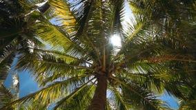 Weelderige palmen met kokosnoten vanuit lage invalshoek, zongloed stock video
