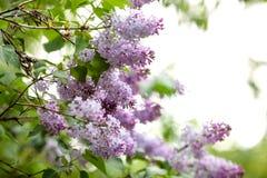 Weelderige purpere lilac tak Stock Fotografie