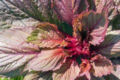 Weelderige rode en groene bladeren van siernetelblumei royalty-vrije stock foto's