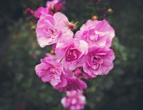 Weelderige Roze Rozen in Bloei in Aard Stock Afbeeldingen