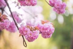 Weelderige sakurabloesems, Royalty-vrije Stock Afbeelding
