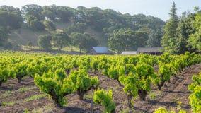Weelderige Wijngaarden Eerste Licht Californië stock foto's