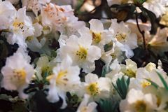 Weelderige Witte Bloemen in Bloei in openlucht in Aard Royalty-vrije Stock Foto