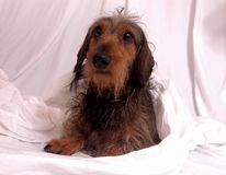 weenerdog dachshund Стоковое Изображение