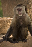 Weeper Capuchin Stock Images