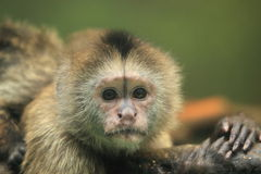 Weeper capuchin royalty free stock photography