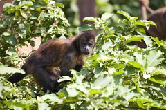 Weeper Capuchin, Cebus olivaceus, looking for food Stock Photos