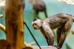 Weeper capuchin. At the zoo royalty free stock photos