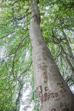 Weeping Beech Stock Images