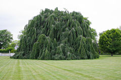 Weeping Beech Tree Stock Image
