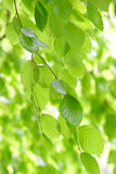 Weeping Beech Tree Royalty Free Stock Images