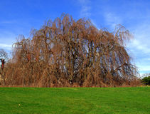 Weeping Beech Tree. On a spring day royalty free stock images