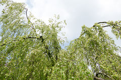 Weeping beech tree. Royalty Free Stock Photos