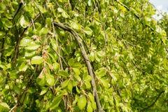 Weeping beech tree. Royalty Free Stock Photos