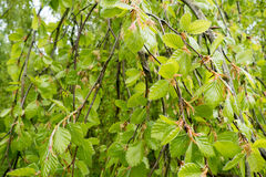 Weeping beech tree. Royalty Free Stock Images