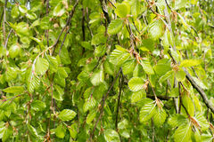 Weeping beech tree. Stock Images