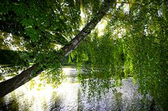 Weeping birch Stock Image