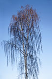 Weeping birch Stock Images