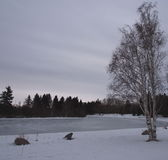 Weeping Birch In Winter. With frozen lake in background Royalty Free Stock Images