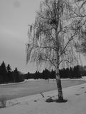Weeping Birch In Winter. With frozen lake in background Stock Photo