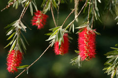 Weeping bottle brush red flower Royalty Free Stock Photography