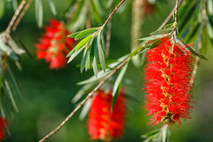 Weeping bottle brush red flower Stock Images