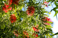Weeping Bottlebrush Royalty Free Stock Photo