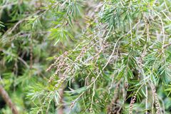 The weeping bottlebrush or creek bottlebrush tree. Seeds and leaves Stock Photo