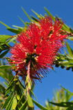 Weeping bottlebrush tree callistemon viminalis. Royalty Free Stock Image