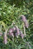 Weeping buddleia bush. Rostrinucula dependens, weeping rostrinucula, weeping buddleia Royalty Free Stock Images