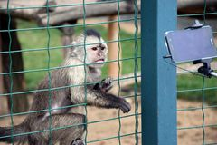 Weeping Capuchin Cebus olivaceus Trying to touch cell phone Stock Photo stock photo