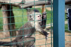 Weeping Capuchin Cebus olivaceus Trying to touch cell phone Stock Photo. Weeping Capuchin Cebus olivaceus Trying to touch cell phone Playing Stock Photo royalty free stock images