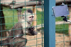 Weeping Capuchin Cebus olivaceus Trying to touch cell phone Stock Photo stock photography